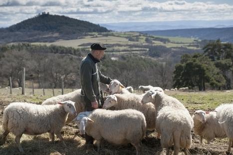 La filière ovine laitière française bascule dans l'ère de la sélection génomique | Actualités de l'élevage | Scoop.it