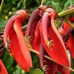 Erythrina crista-galli (Arbre corail, Érythrine) Graines - Alsagarden, Graines & Plantes Rares | Jardinerie Alsagarden | Scoop.it