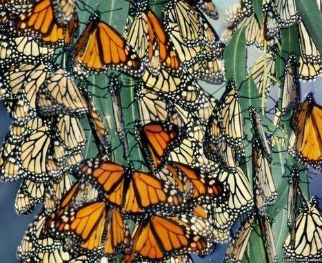 Los secretos que develan las mariposas sobre la vida - BBC Mundo | Bichos en Clase | Scoop.it