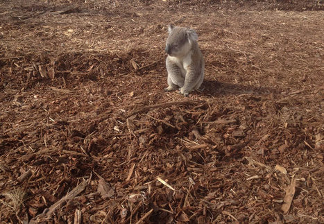 Koala rescued from deforestation in Australia - big picture | Geography 400 Articles | Scoop.it