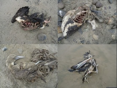 Penguins, sea lions, and birds found dead in Chile. | Via @VidarOceans Protecting the Oceans | Scoop.it
