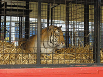 Wild animal circuses look set to be outlawed in Norway from early 2017 | Animal welfare | Scoop.it