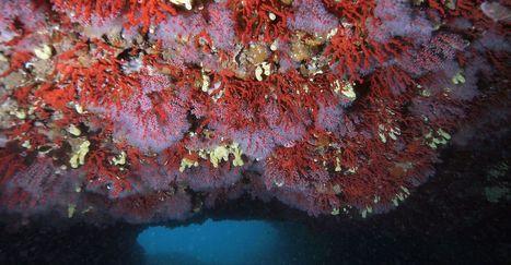Dossier : le fascinant corail rouge de Méditerranée | SoFrenchy | Scoop.it