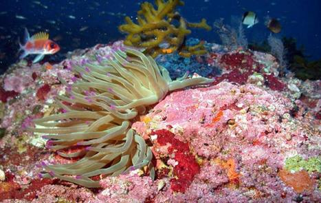 Giant Caribbean Sea Anemone | Oceans and Wildlife | Scoop.it