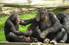 Chimps Have a Sense of Fairness | Stretching our comfort zone | Scoop.it