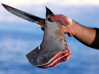 New York may ban shark fin sales, following other states   Water Stewardship   Scoop.it