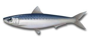 Succeed in business: mimic sardines via @jaycross #workingsmarter | Internet Time Alliance | Scoop.it