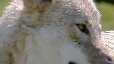 Une louve abattue dans le massif des Monges | développement durable - périnatalité - éducation - partages | Scoop.it