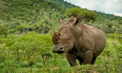 How to teach … rhinos and conservation | Climate change sustainability education | Scoop.it