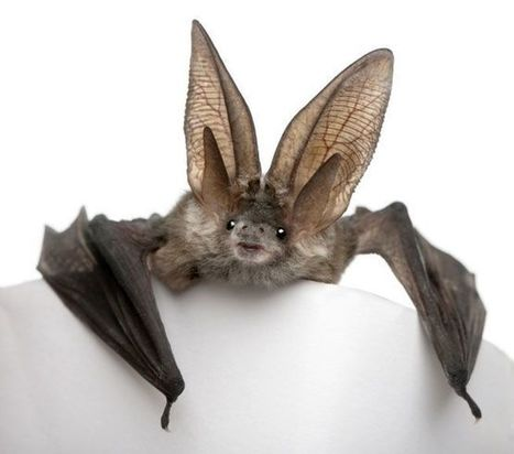 12 images and facts about misunderstood bats | Biodiversity protection | Scoop.it
