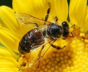 Abeilles : 3 pesticides interdits | Toxique, soyons vigilant ! | Scoop.it