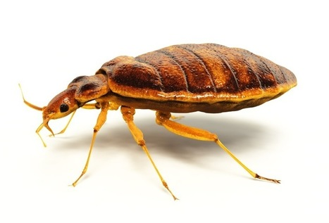 how to kill bed bugs | Real estate | Scoop.it