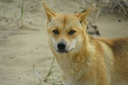 Dingo parasite causes concern for indigenous communities | Ecohealth | Scoop.it
