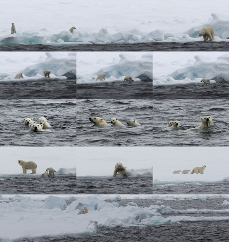 A tale of two polar bear cubs – by Ian Brown | Sea Surface Consortium | cats | Scoop.it