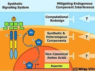 Synthetic Signaling Meets Endogenous Components | SynBioFromLeukipposInstitute | Scoop.it
