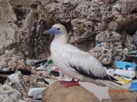 En 2050, 99% des oiseaux marins auront mangé du plastique | Ecologie Animale | Scoop.it
