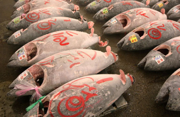 ALL Bluefin Tuna Caught In #California Are #Radioactive ... DO NOT EAT #TUNA & maybe we'll STOP #overfishing | Rescue our Ocean's & it's species from Man's Pollution! | Scoop.it