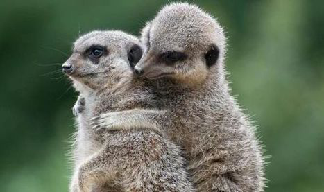 Cuddling meerkats and smooching snails: Love is in the air in the animal kingdom - Express.co.uk | All we need is love | Scoop.it