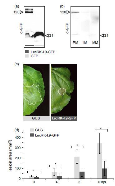 Plant Biotechnology (2014): The Arabidopsis lectin receptor kinase LecRK-I.9 enhances resistance to Phytophthora infestans in Solanaceous plants | Spoelder | Scoop.it