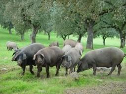 Asaja Cordoba pide poder luchar contra el duro cupo de cerdos por hectárea | DEHESAS IBERICAS | Scoop.it