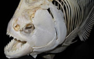 Mega-Bites: Extreme jaw forces of living and extinct piranhas | Amazing Science | Scoop.it