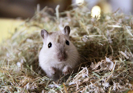 Gerbils Likely Pushed Plague To Europe in Middle Ages | Early Western Civilization | Scoop.it