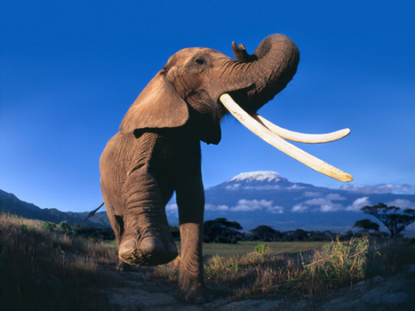 How to Save Africa's Elephants   Wildlife and Environmental Conservation   Scoop.it