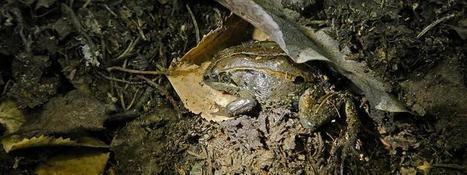 Alaska frogs reach record lows in extreme temperature survival | Sustain Our Earth | Scoop.it