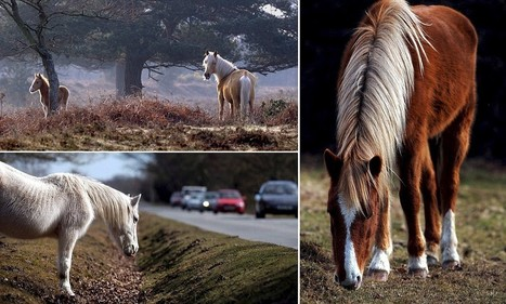 """""""Have you heard? New Forest pony is listed as a rare breed for the first time ever 