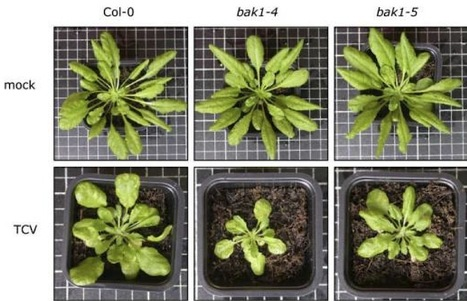 MPMI: The immunity regulator BAK1 contributes to resistance against diverse RNA viruses (2013) | Plant Research Topics | Scoop.it