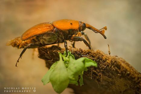 El picudo rojo (Rhynchophorus ferrugineus)   Le charançon rouge du palmier sous surveillance !   Scoop.it