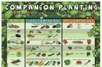 Gardening: Companion Planting Chart   Gardening   Scoop.it