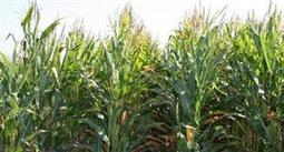 Chicago - Des achats à bon compte font rebondir le maïs et le soja - Agrisalon | Actus des PME agroalimentaires | Scoop.it