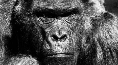 Reflexiones entre primates - Enriquecimiento Ambiental | Enriquecimiento ambiental en animales en cautividad y mascotas. | Scoop.it