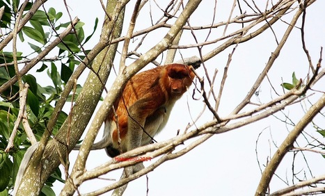 Photo 171   Bekantan - Wild Indonesia   Scoop.it