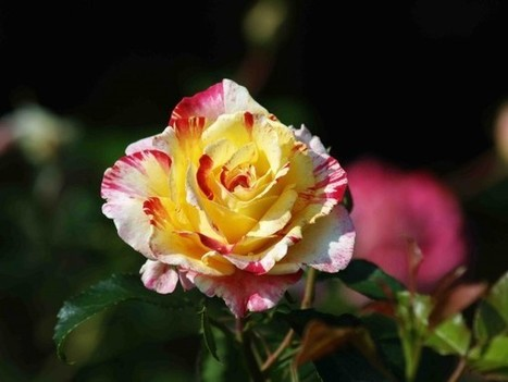 Paul Zimmerman Roses - Roses Are Plants Too!© • View topic - The roses keep coming. | Rose gardening for everyone | Scoop.it
