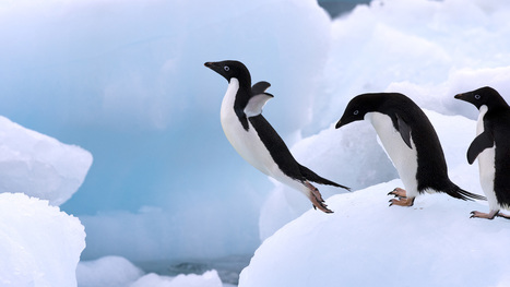 Adelie Penguin Facts | 10 Amazing Facts about Adelie Penguins | AnimalsTime | Scoop.it