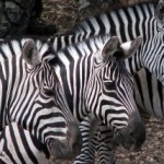 How did zebras get their stripes?   Science H   Scoop.it