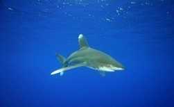 Sharks, rays win new trade protections   Belize in Social Media   Scoop.it