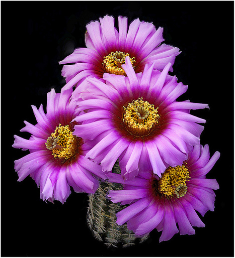 Flor de cactus by Richard Reynolds | Mis imágenes | Scoop.it