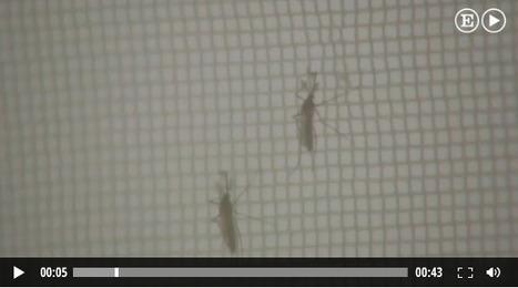 ¿Qué es y cómo evitar el contagio por chikungunya? | Apasionadas por la salud y lo natural | Scoop.it