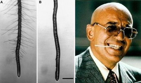 Witty gene names in plants. Who remembers Kojak? | Plant Biology Teaching Resources (Higher Education) | Scoop.it