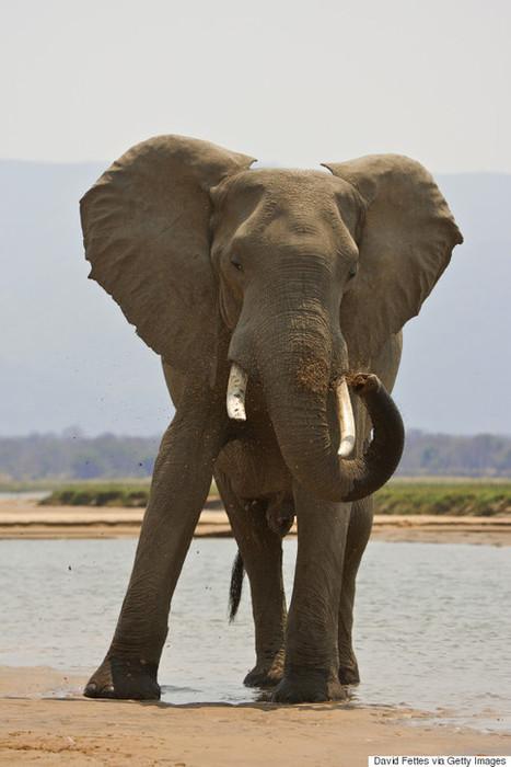 Justice : Un chasseur piétiné à mort par l'éléphant qu'il voulait tuer ! | Chronique d'un pays où il ne se passe rien... ou presque ! | Scoop.it
