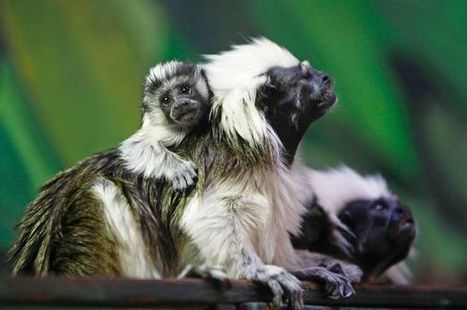 Two endangered monkeys die at zoo after being left out in cold by caretaker | wildlife | Scoop.it