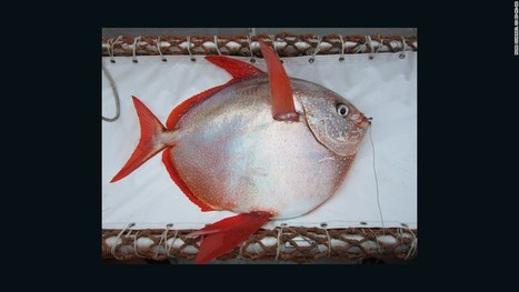 Found: First warm-blooded fish (we've been eating it) | Vloasis sci-tech | Scoop.it
