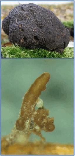 Tuber melanosporum from Genoscope - Home | Mycorrhizal fungal genomes | Scoop.it