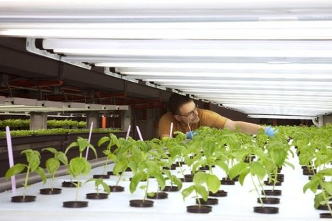 Chicago Company Corners The Secret To Growing Vegetables Without Dirt | For our Students | Scoop.it