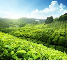 Green Tea Compounds Effective Against Tumors and Genetic Diseases   Natural Remedies and such   Scoop.it