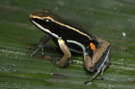 "New Species – Poison Frog Inhabits a ""Lost World"" in Guyana Rainforest 