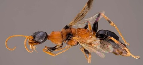 Zombie Cockroaches Are Real, and This Wasp Controls Them | Strange days indeed... | Scoop.it